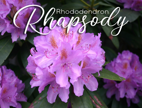 Single Bloom - Rhododendron Rhapsody coming May 1
