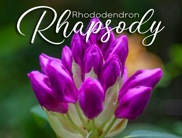 Purple Buds - Rhododendron Rhapsody coming May 16, 2021