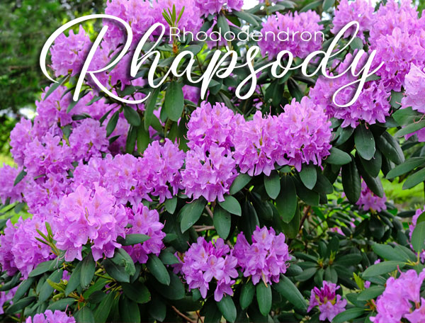In bloom Rhododendron Rhapsody coming May 16, 2021