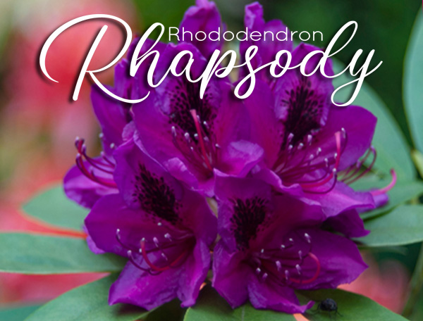 Deep Purple Blossom - Rhododendron Rhapsody coming May 16, 2021