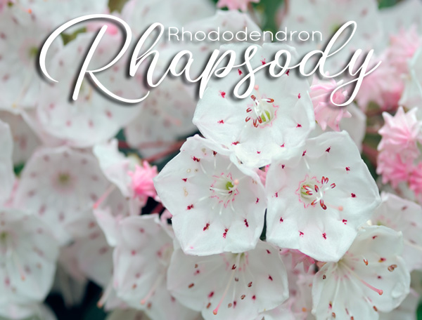Mountain Laurel - Rhododendron Rhapsody coming May 16, 2021
