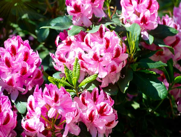 Pink Rhododendron Bloom